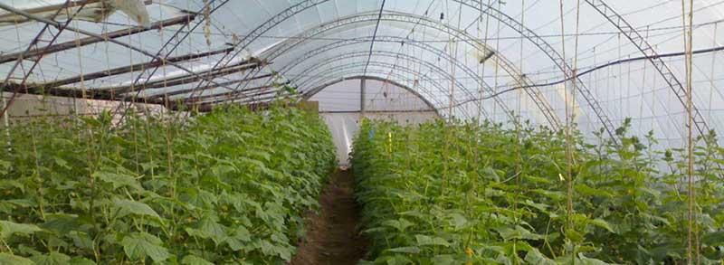 شرایط دمایی لازم برای گلخانه خیار
