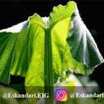 استرس گرمایی در گیاهان