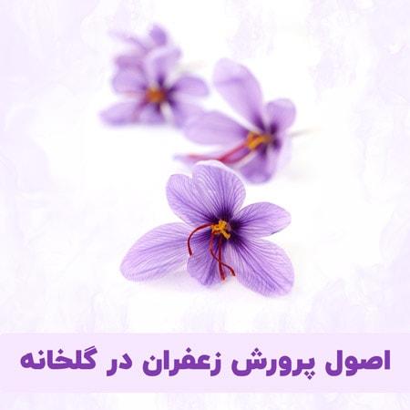 اصول پرورش زعفران