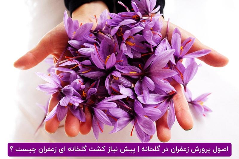 پرورش زعفران در محیط بسته