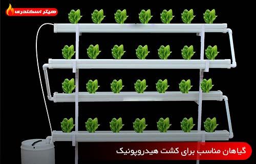 گیاهان مناسب برای کشت هیدروپونیک - هیتر اسکندری